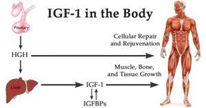 IgF-1 im Körper